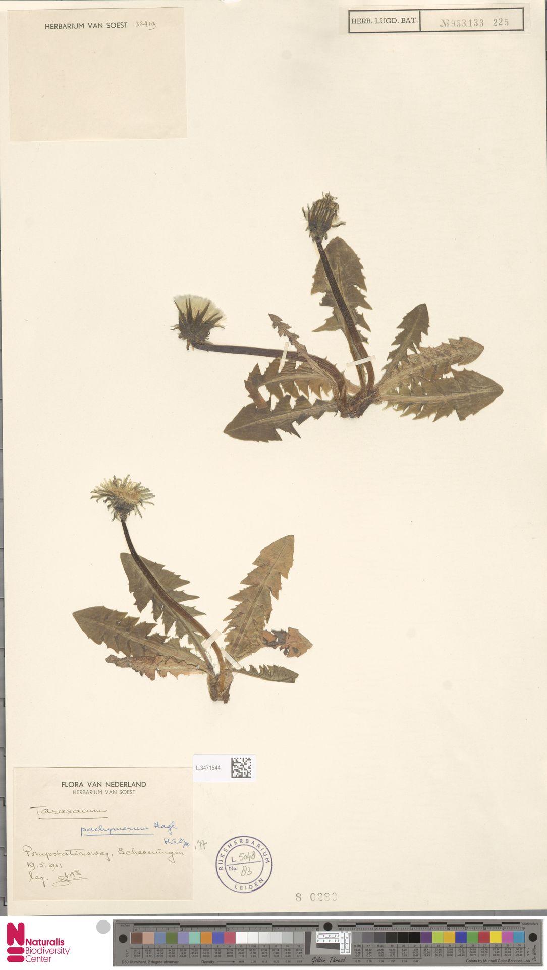 L.3471544 | Taraxacum pachymerum G.E.Haglund