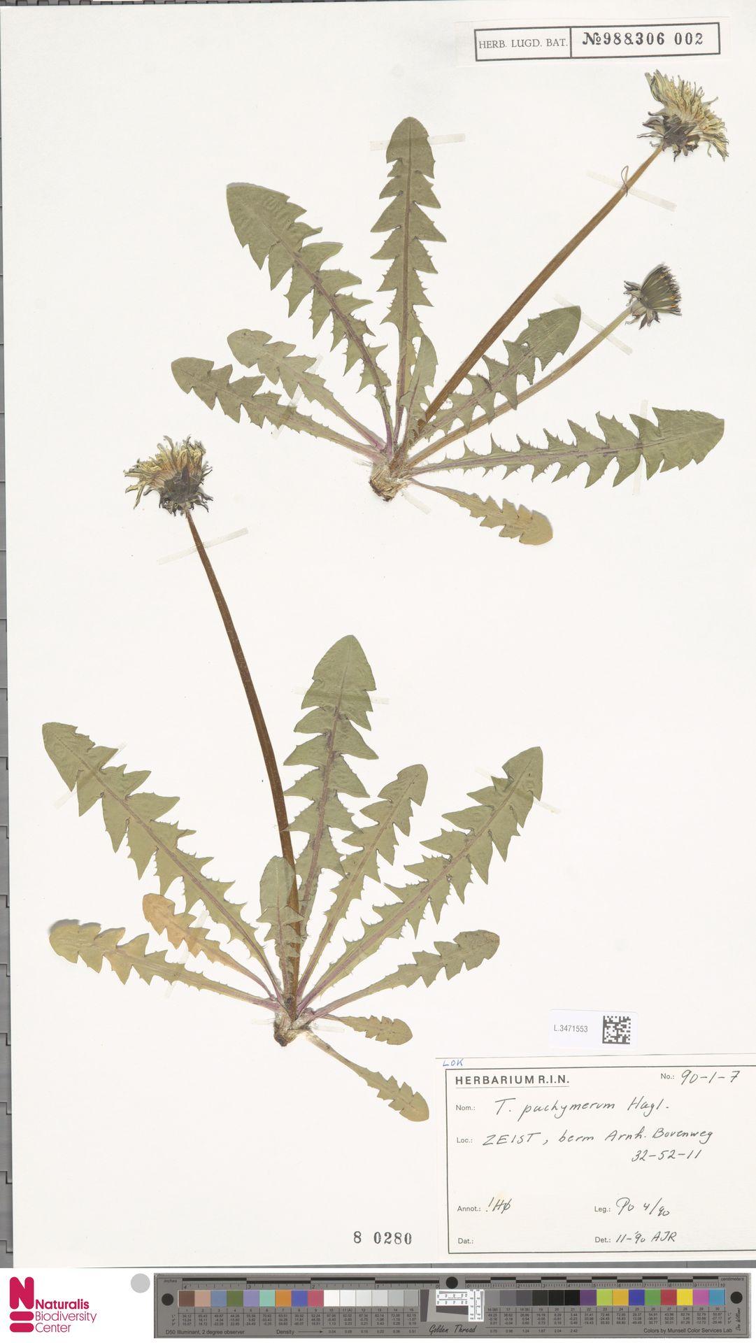 L.3471553 | Taraxacum pachymerum G.E.Haglund