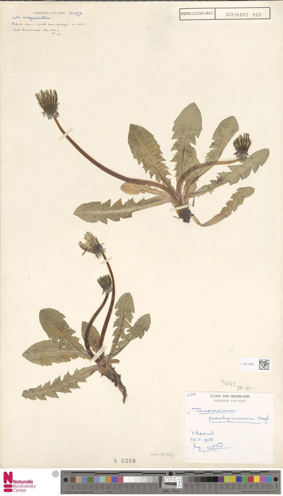 L.3471563 | Taraxacum pachymerum G.E.Haglund