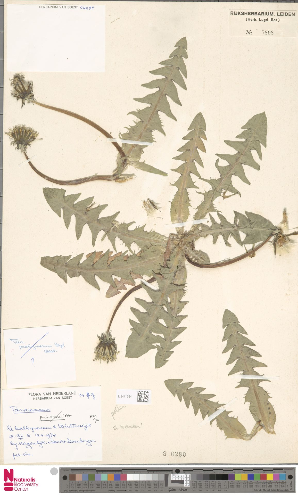 L.3471564 | Taraxacum pachymerum G.E.Haglund