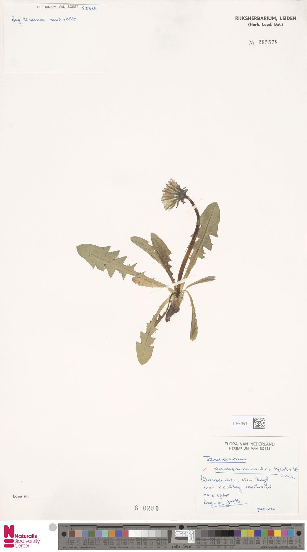 L.3471693   Taraxacum pachymeroides Hagend., Soest & Zevenb.