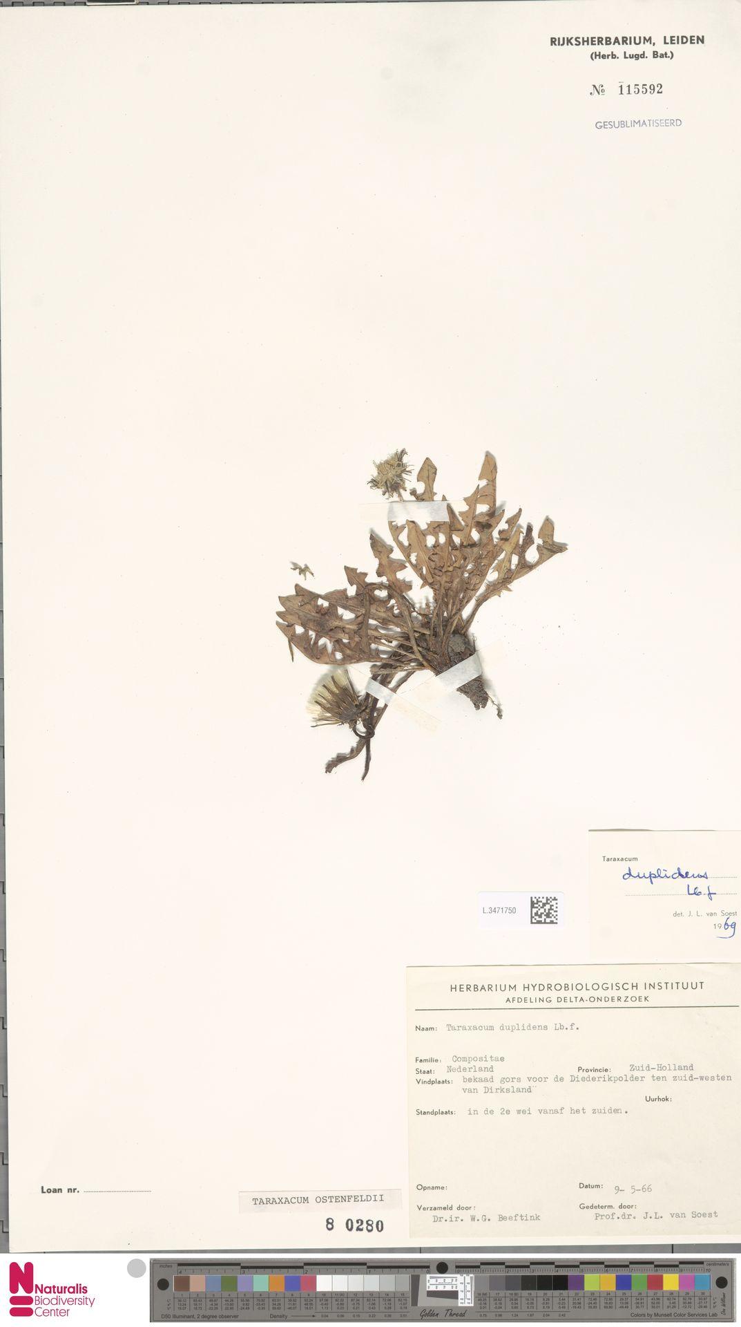 L.3471750 | Taraxacum ostenfeldii Raunk.