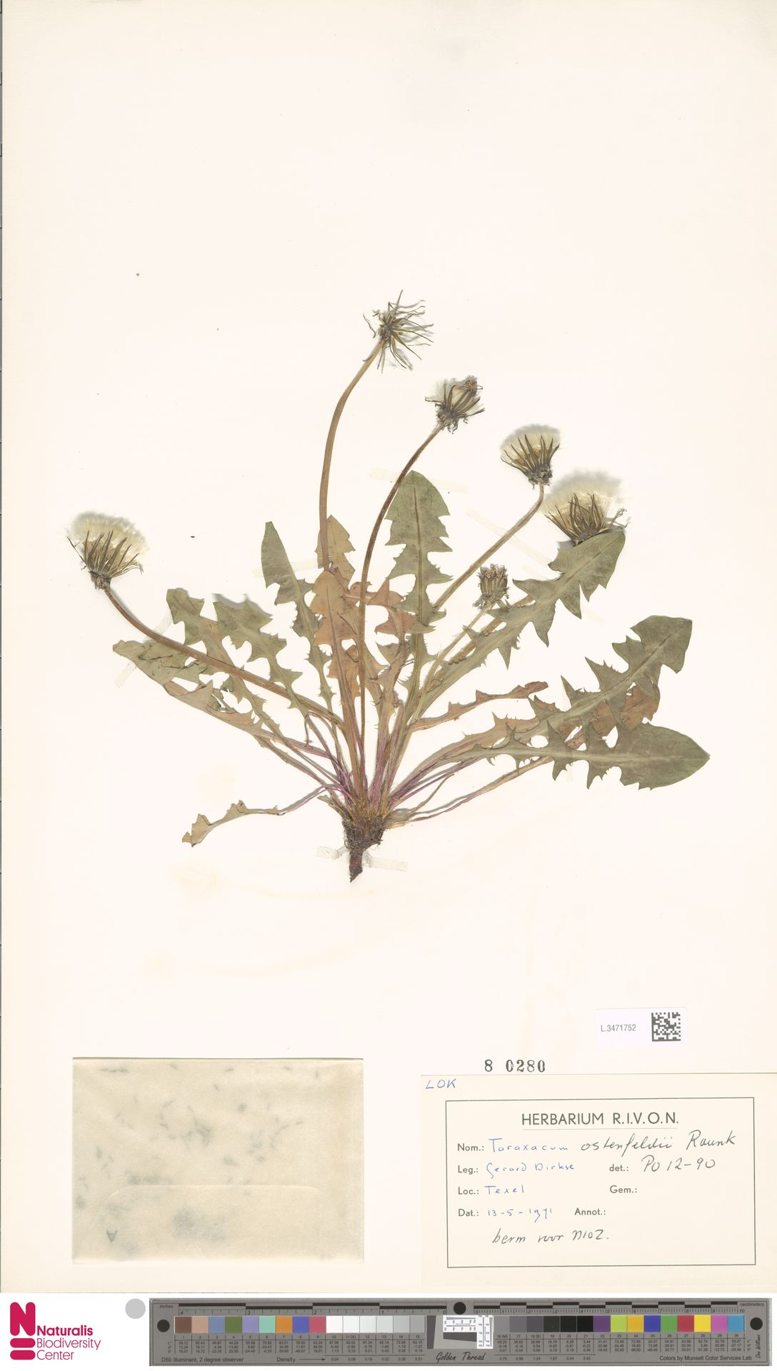 L.3471752 | Taraxacum ostenfeldii Raunk.