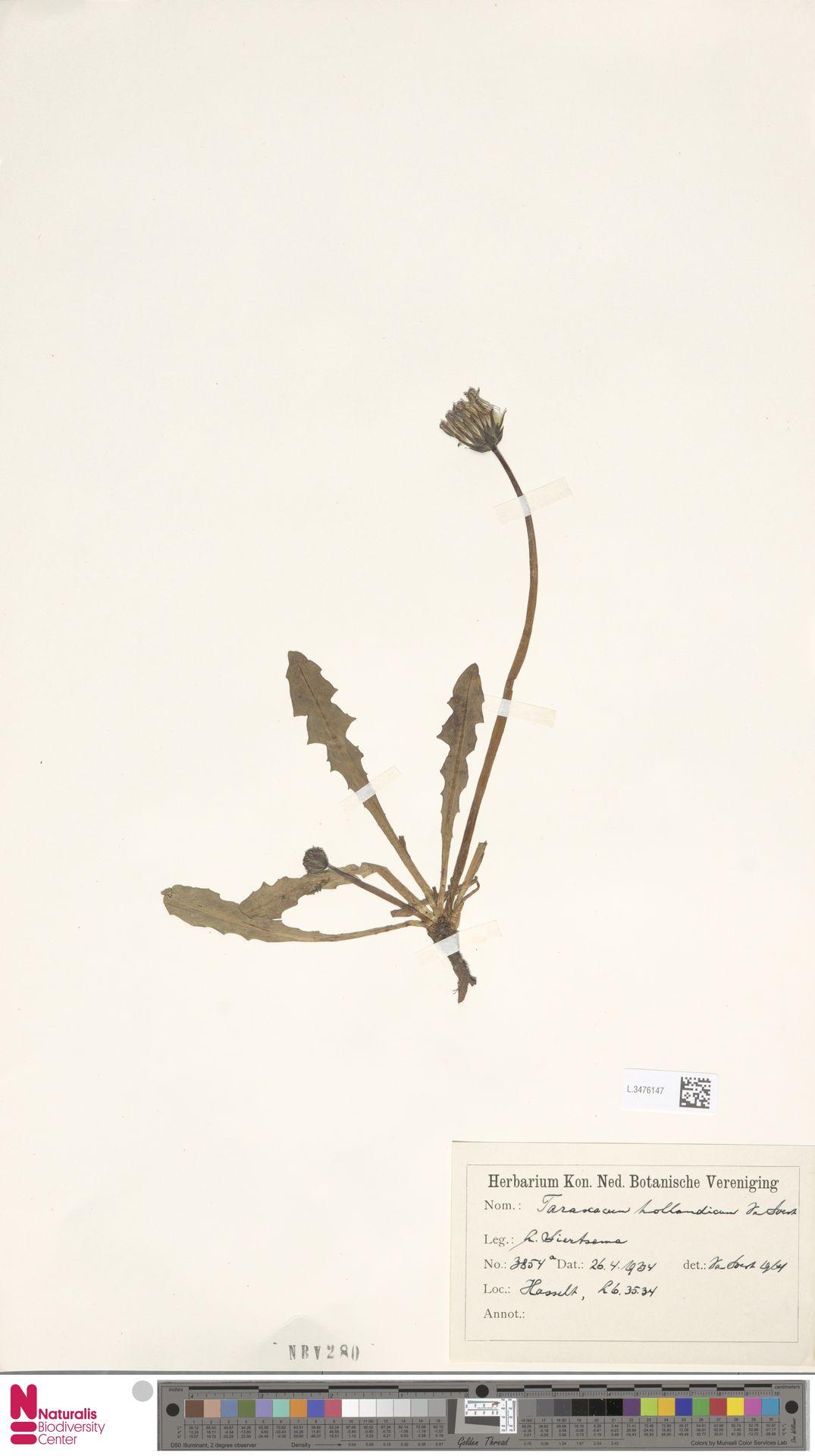 L.3476147 | Taraxacum hollandicum Soest