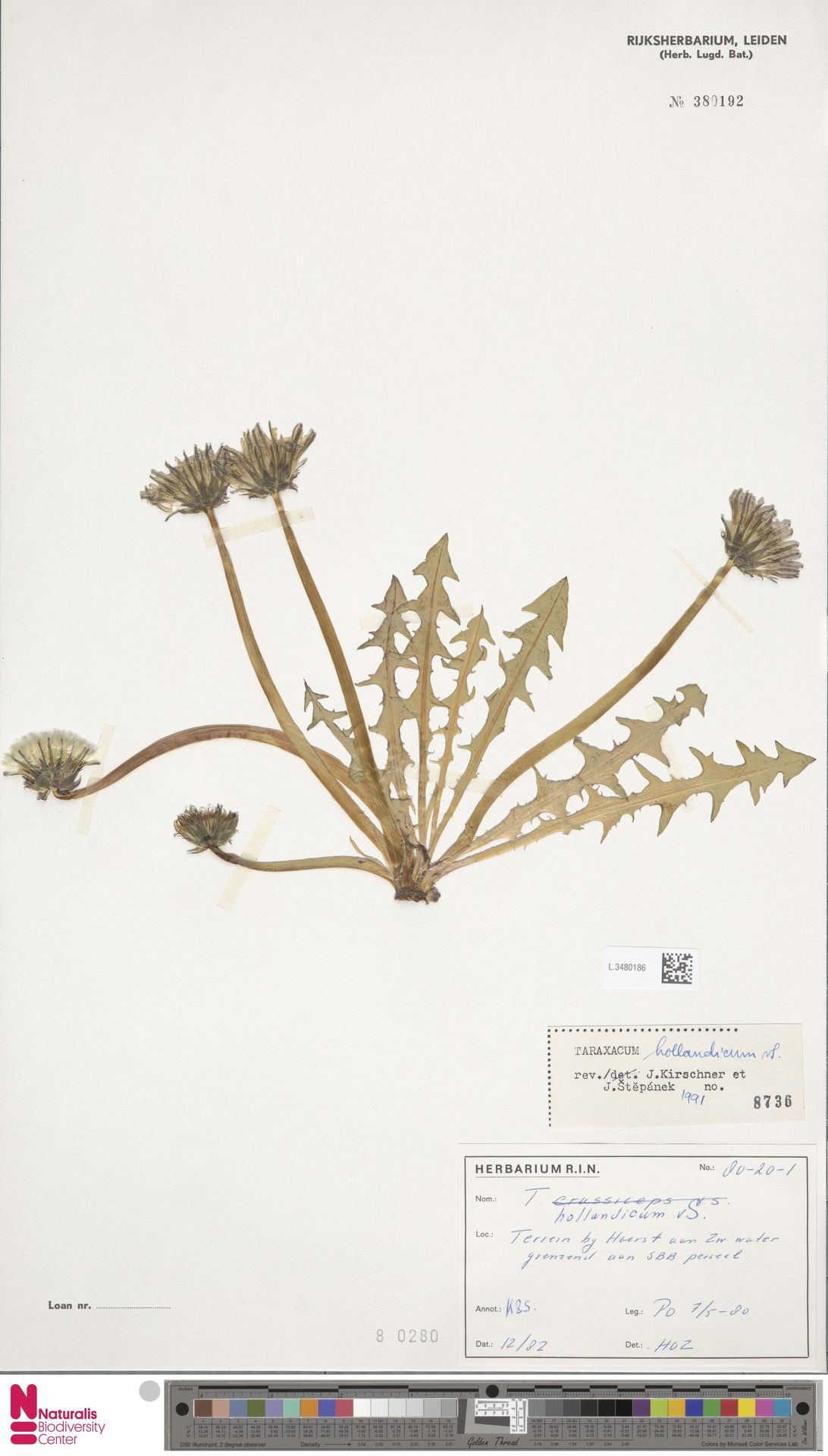 L.3480186   Taraxacum hollandicum Soest