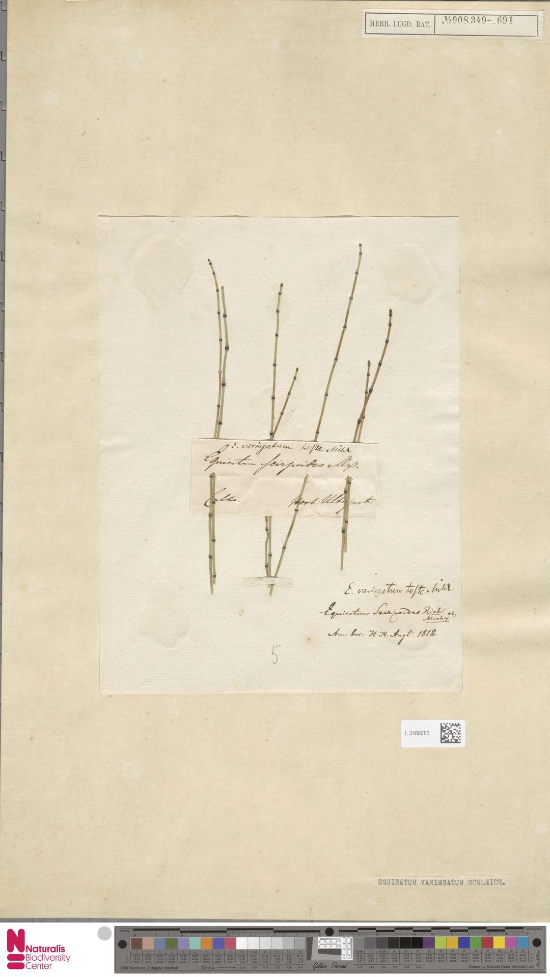 L.3488283 | Equisetum variegatum Schleich. ex F.Weber & D.Mohr