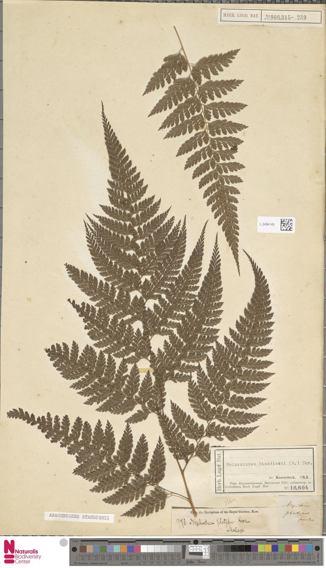 L.3494149   Arachniodes standishii (Moore) Ohwi
