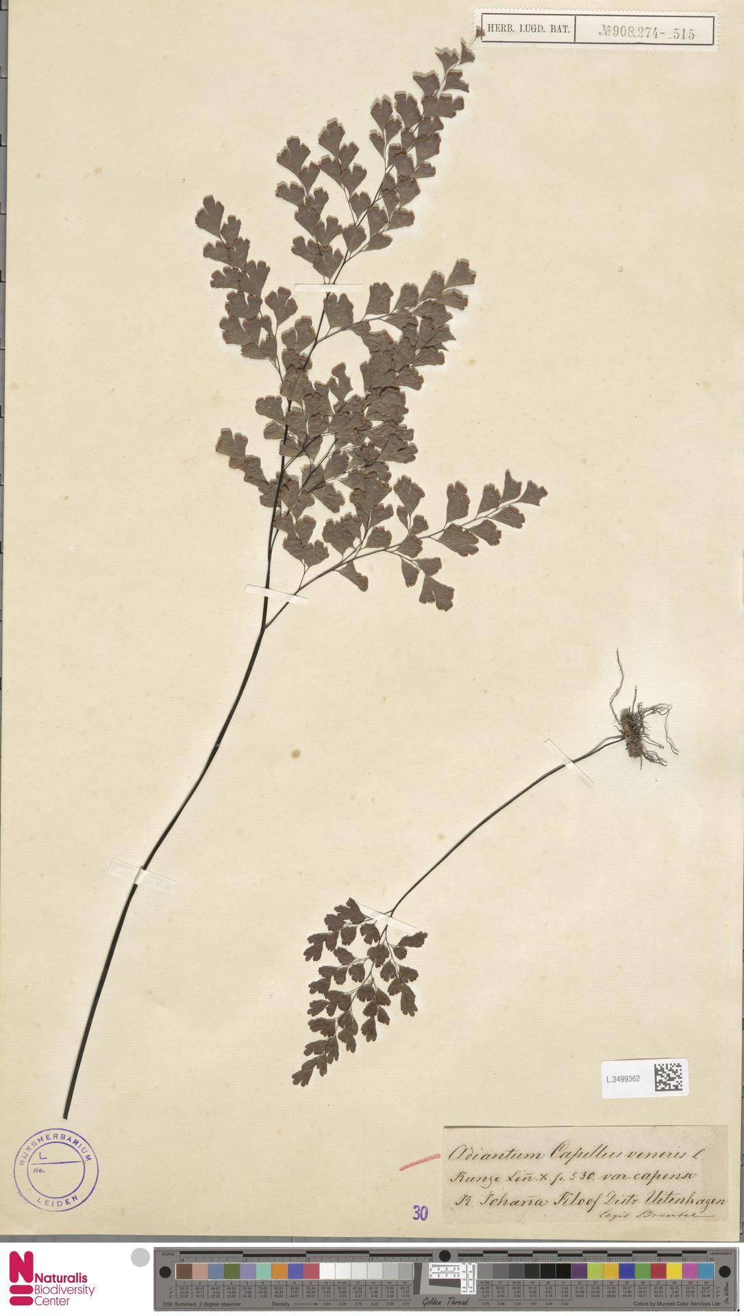 L.3499362   Adiantum capillus-veneris L.