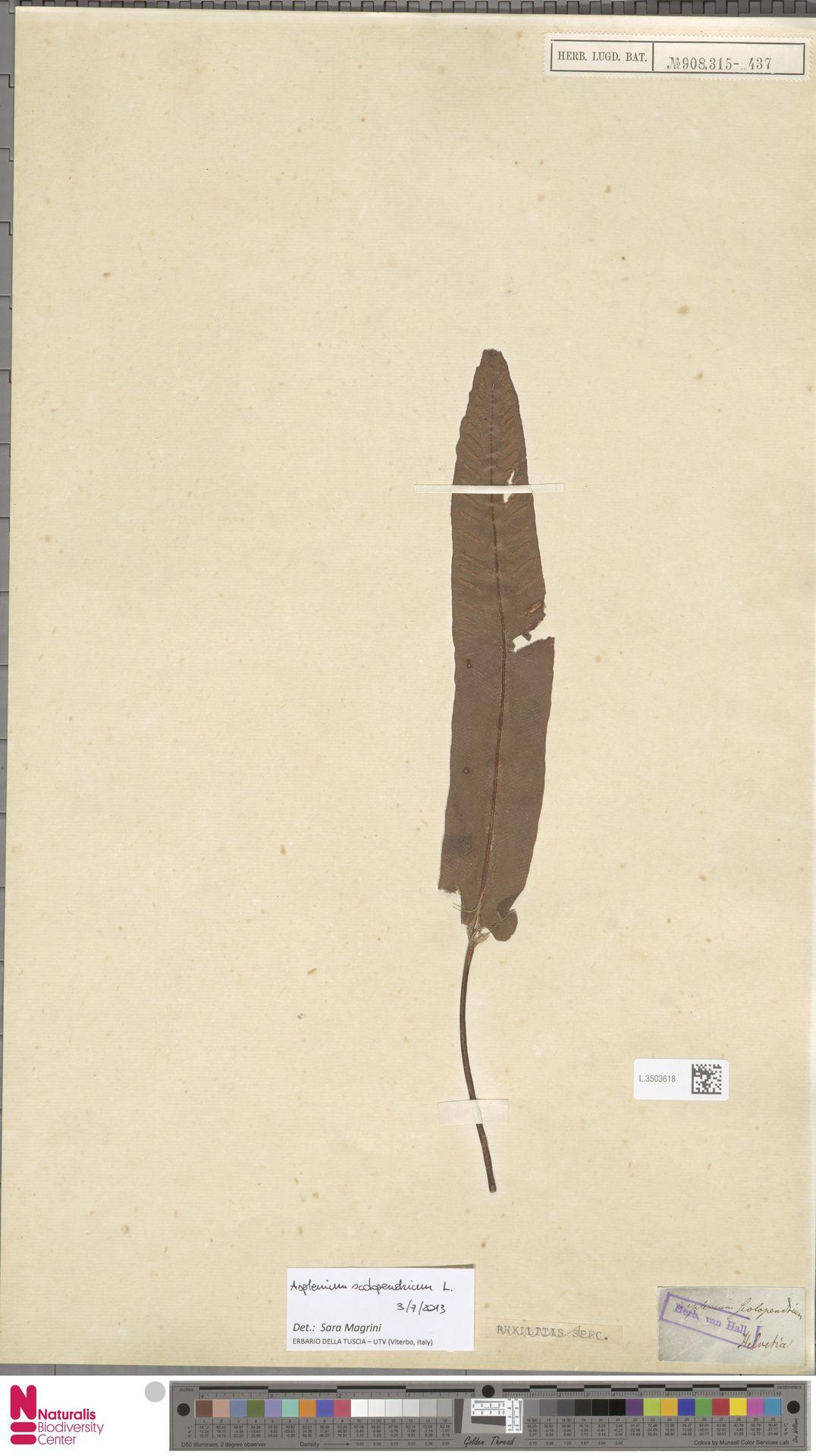 L.3503618   Asplenium scolopendrium L.