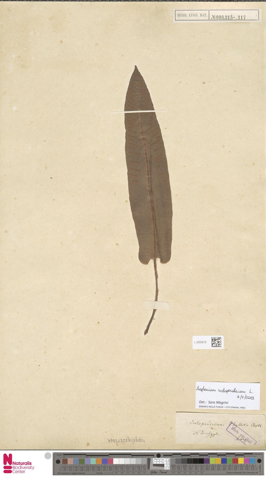 L.3503619 | Asplenium scolopendrium L.
