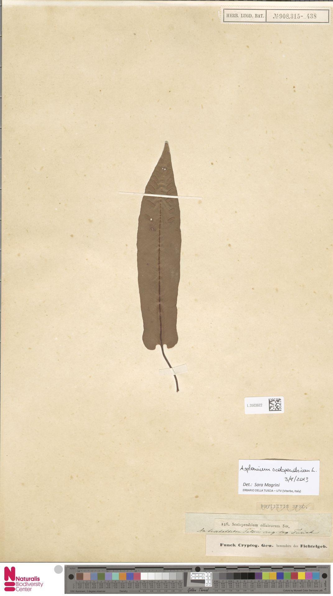L.3503622 | Asplenium scolopendrium L.