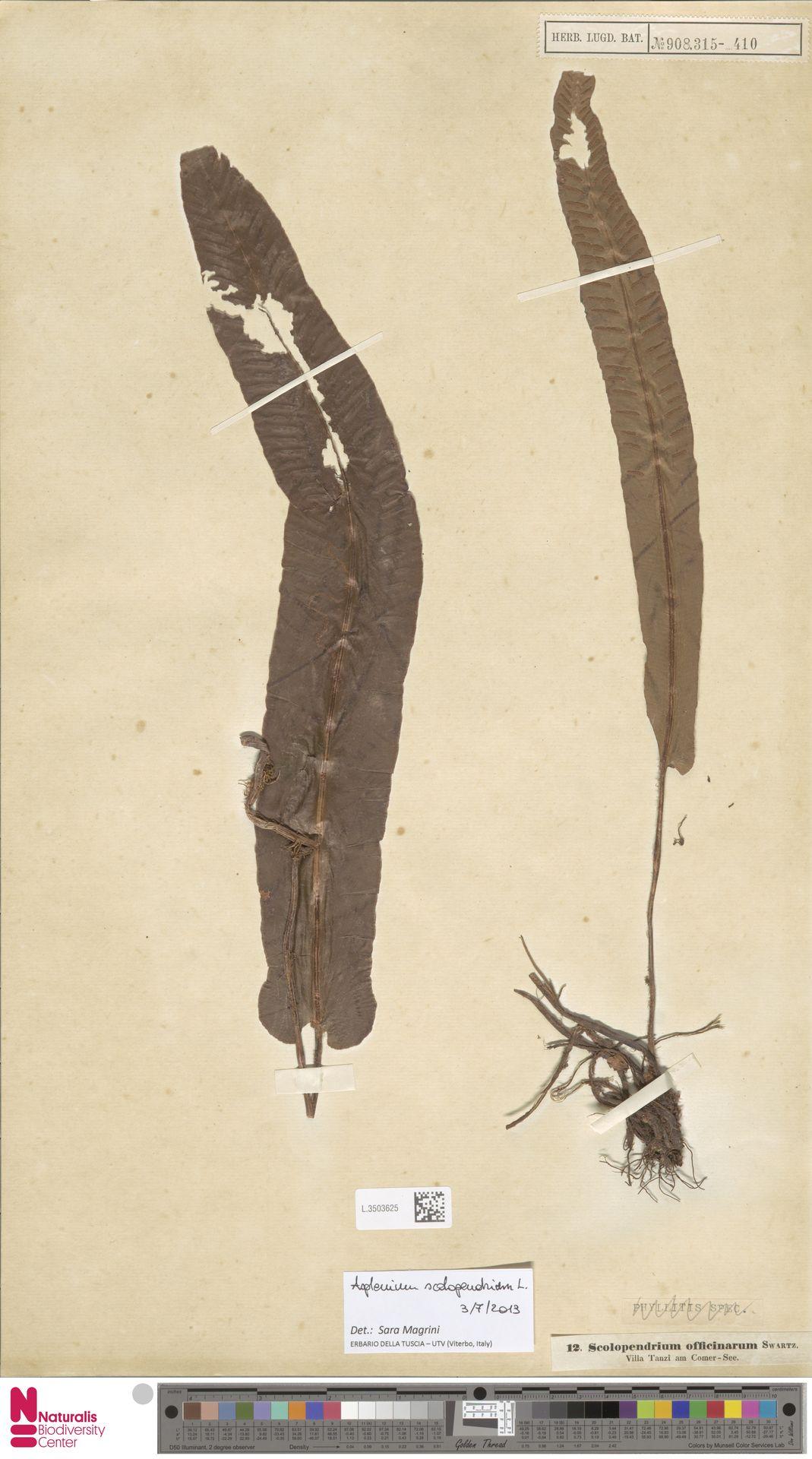 L.3503625 | Asplenium scolopendrium L.