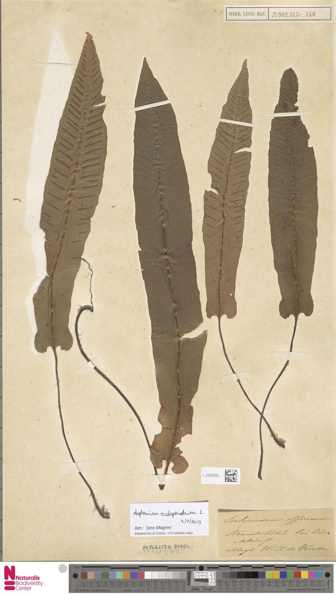 L.3503626 | Asplenium scolopendrium L.