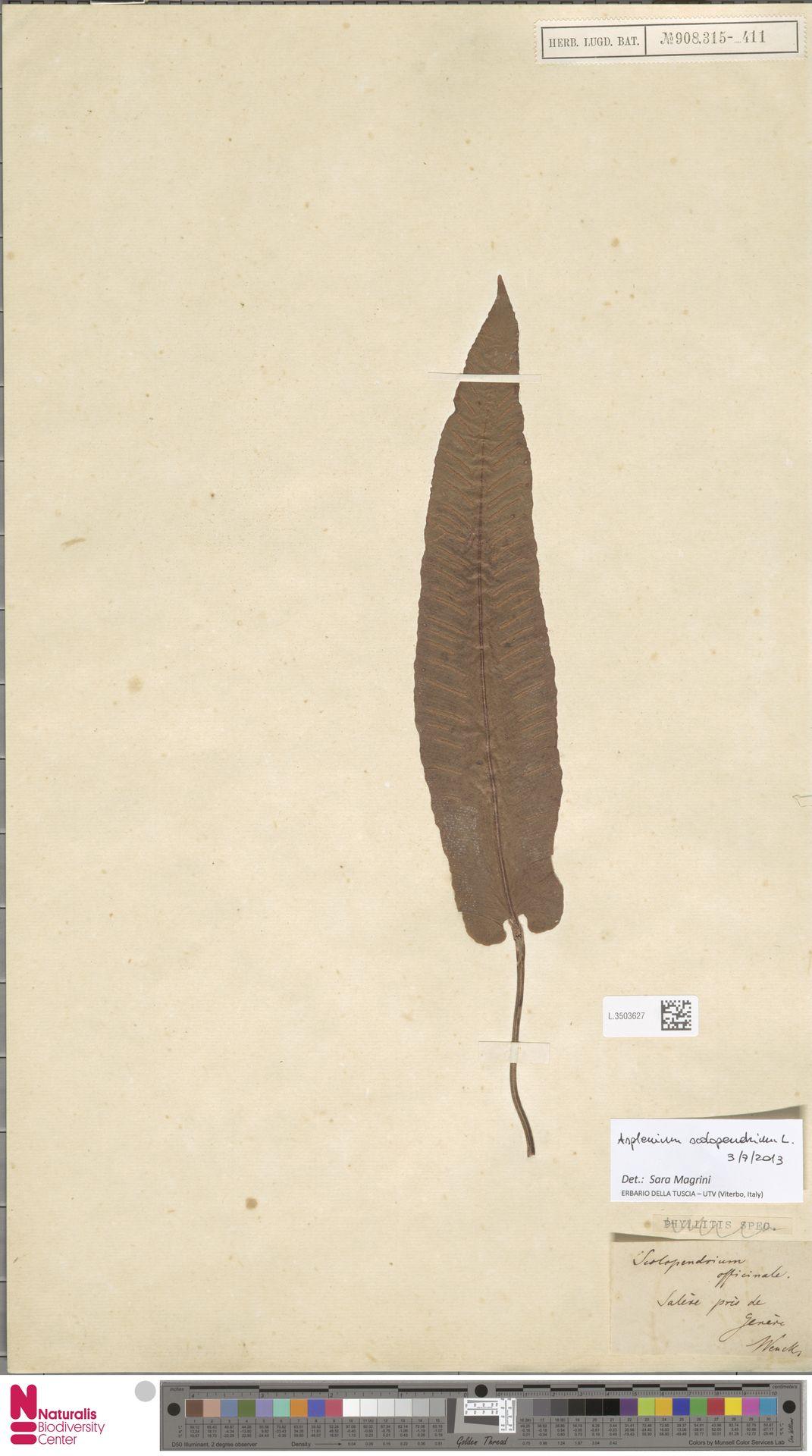 L.3503627 | Asplenium scolopendrium L.