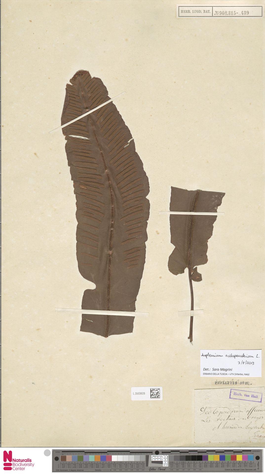 L.3503628   Asplenium scolopendrium L.
