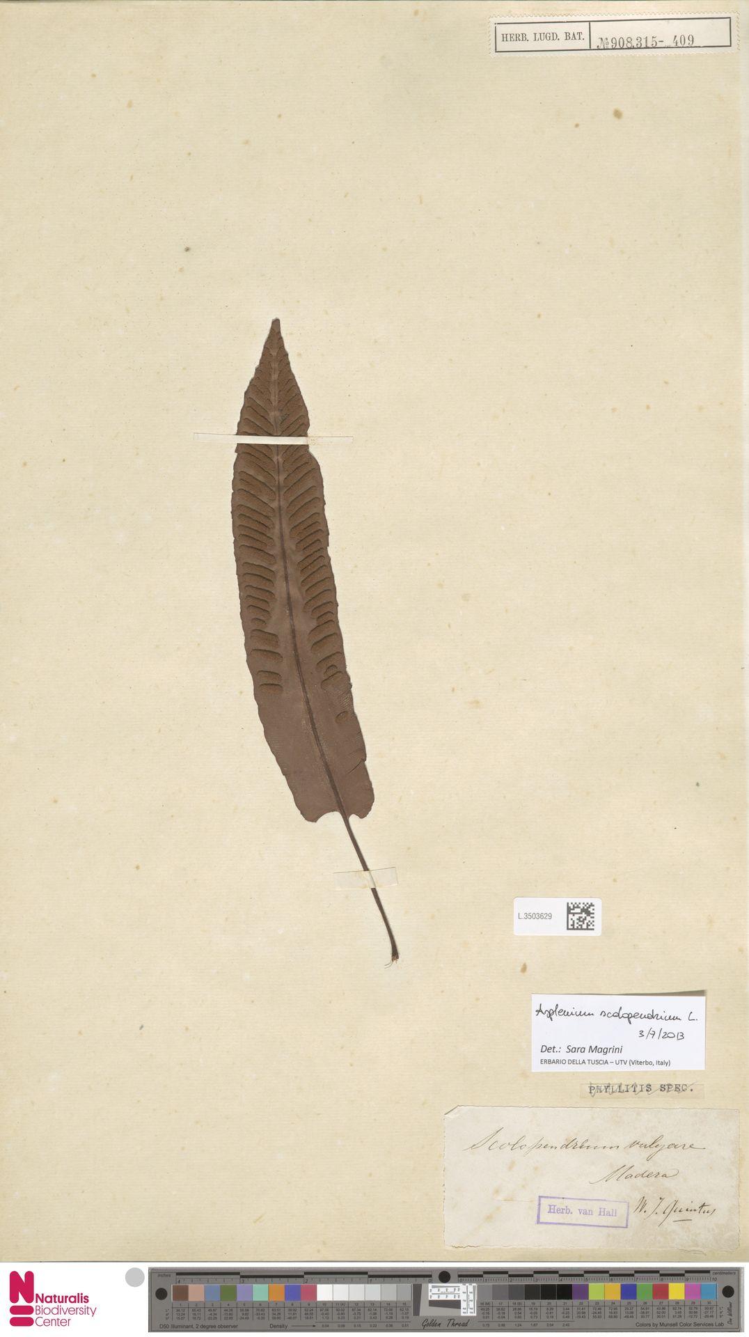L.3503629 | Asplenium scolopendrium L.