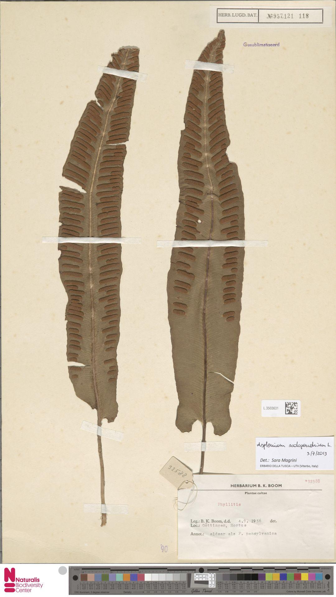 L.3503631   Asplenium scolopendrium L.