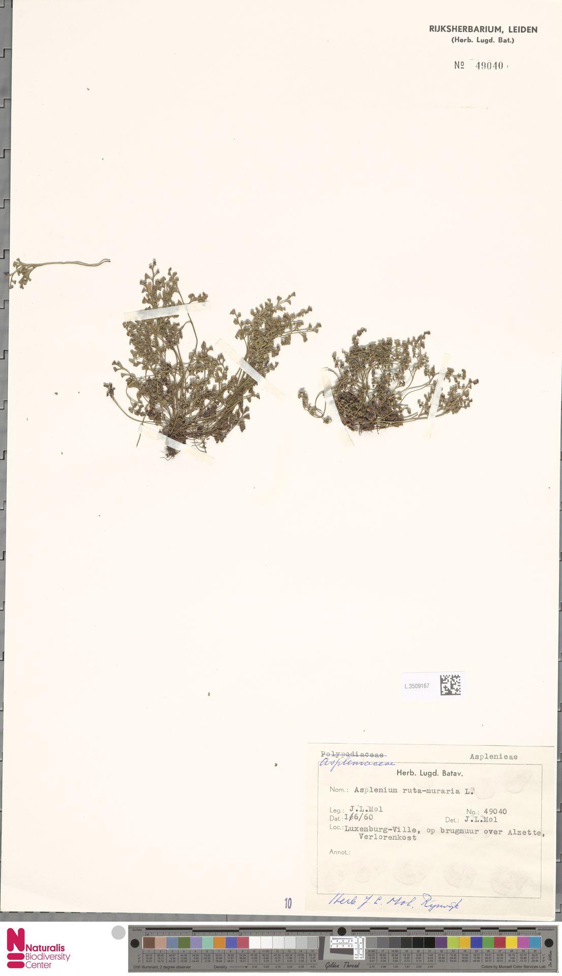 L.3509167 | Asplenium ruta-muraria L.