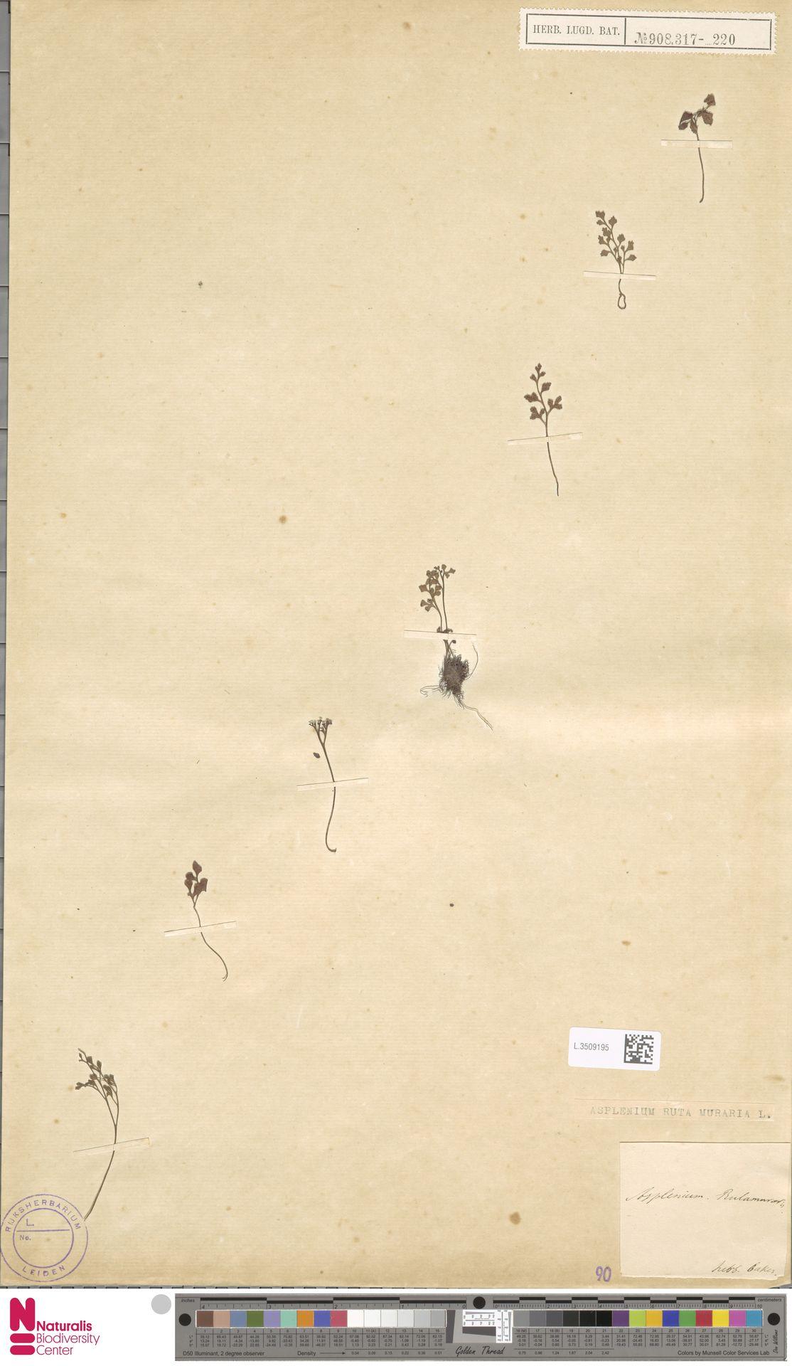 L.3509195 | Asplenium ruta-muraria L.