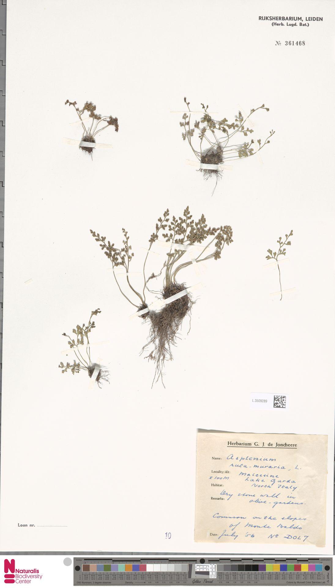L.3509289 | Asplenium ruta-muraria L.