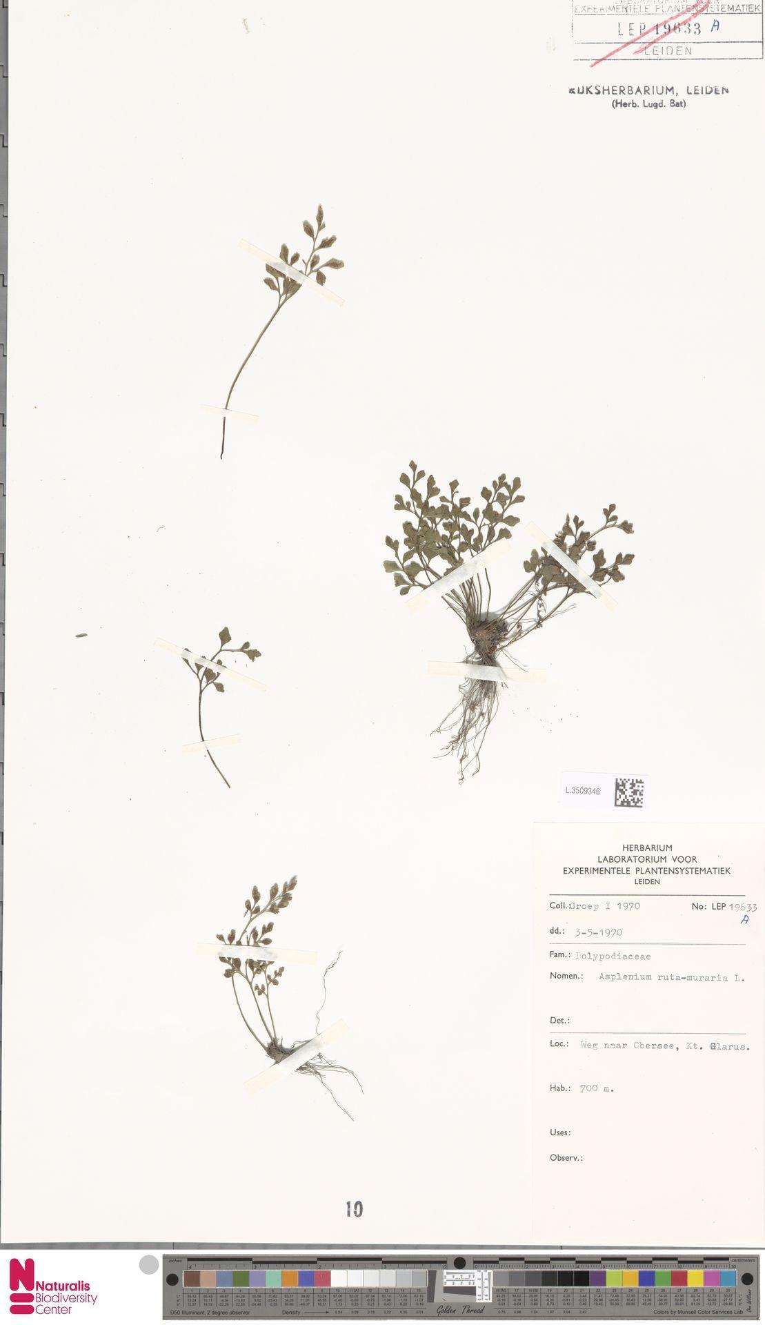 L.3509346 | Asplenium ruta-muraria L.