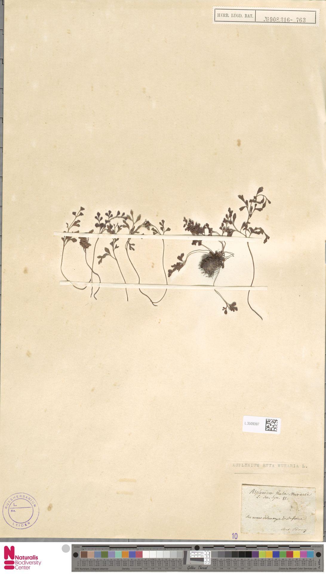 L.3509397 | Asplenium ruta-muraria L.