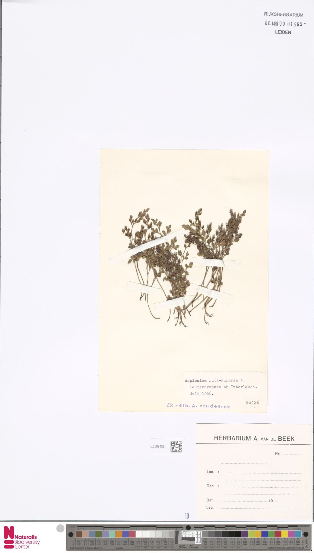 L.3509438 | Asplenium ruta-muraria L.