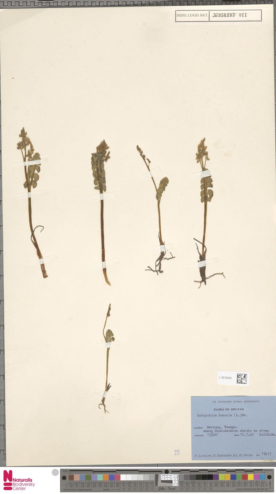 L.3518404 | Botrychium lunaria (L.) Sw.