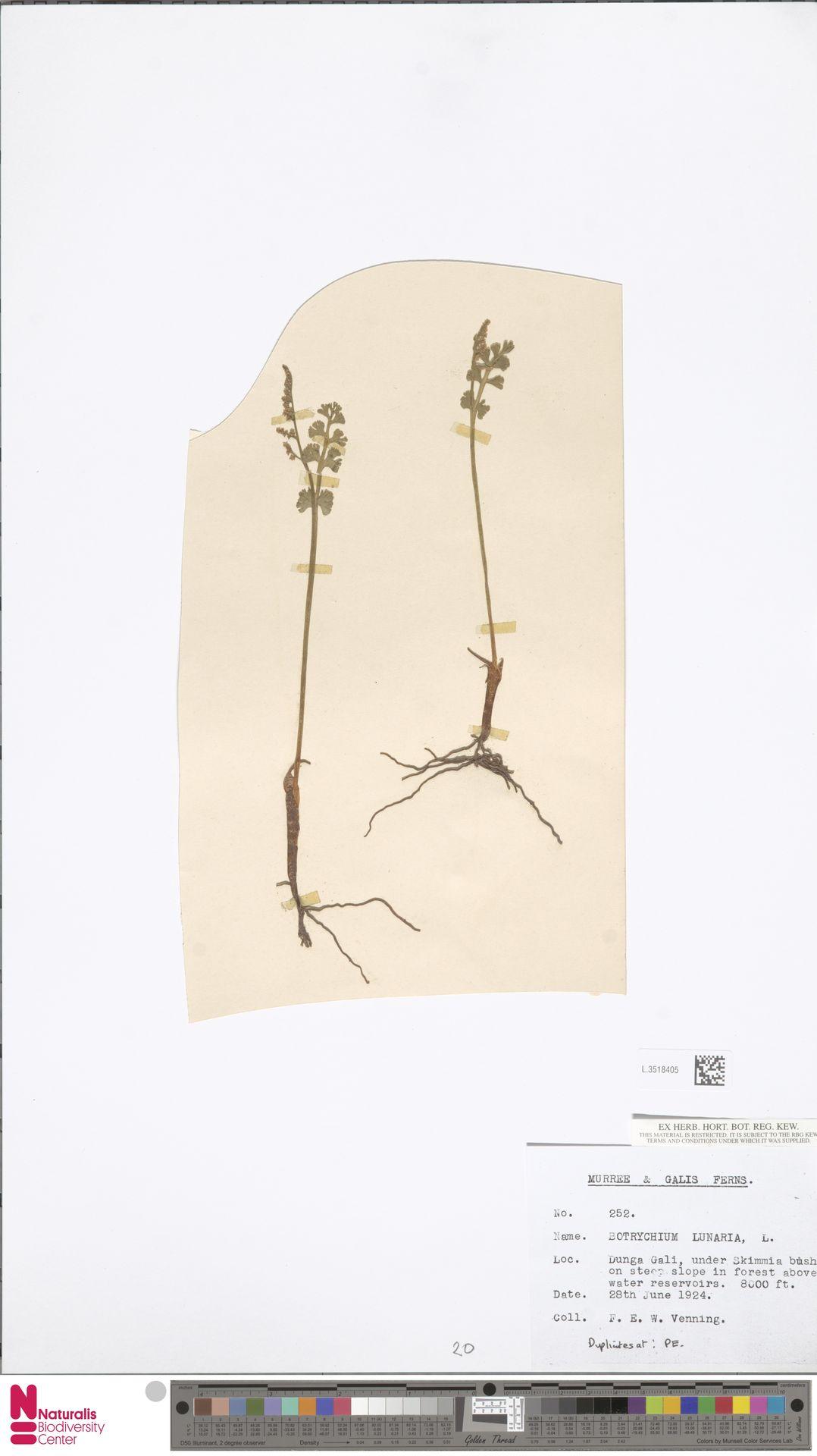 L.3518405 | Botrychium lunaria (L.) Sw.