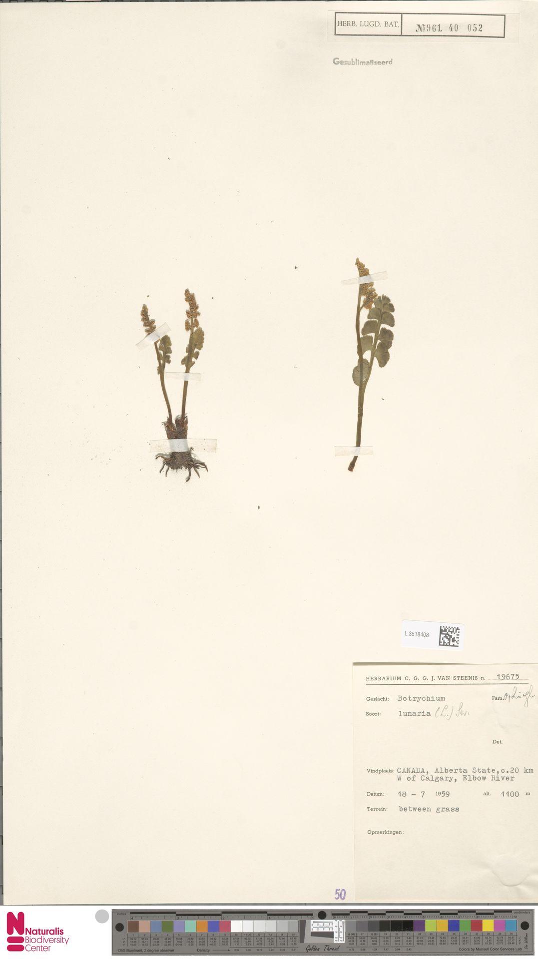 L.3518408 | Botrychium lunaria (L.) Sw.