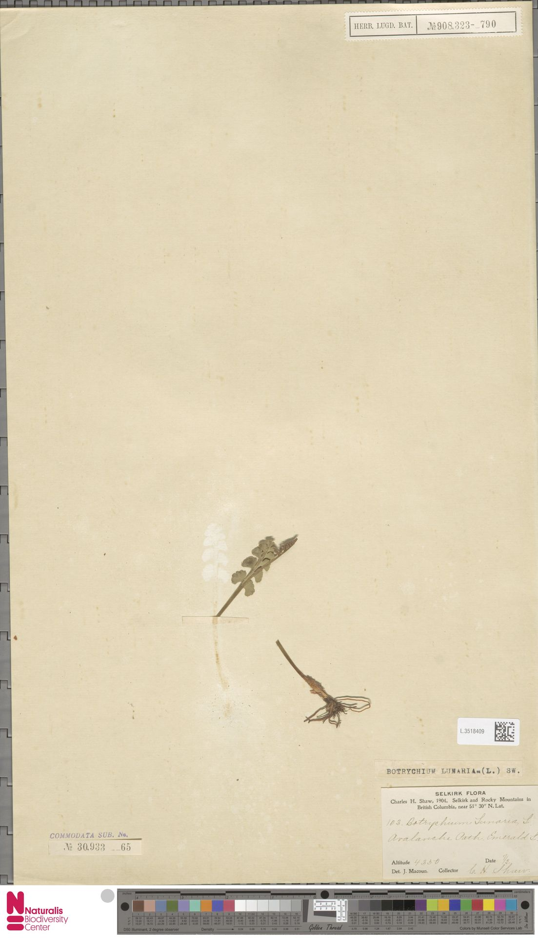 L.3518409   Botrychium lunaria (L.) Sw.