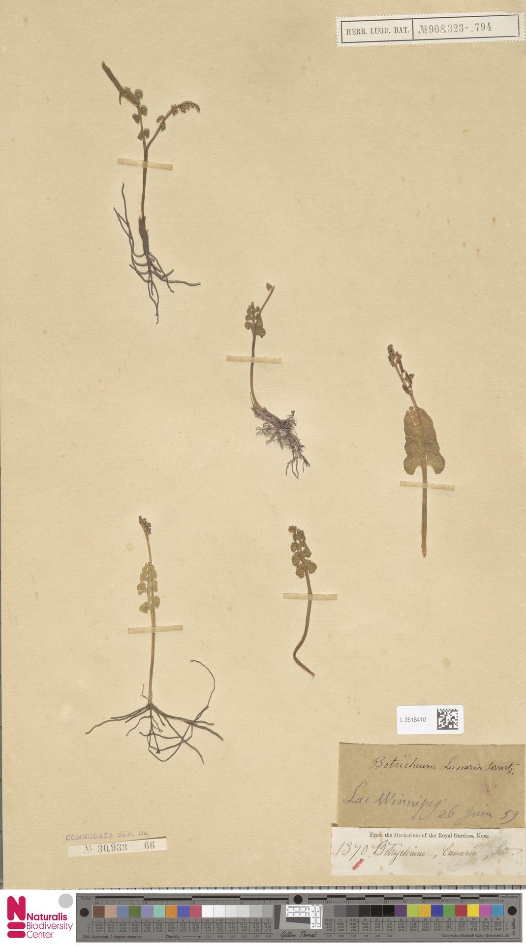 L.3518410 | Botrychium lunaria (L.) Sw.