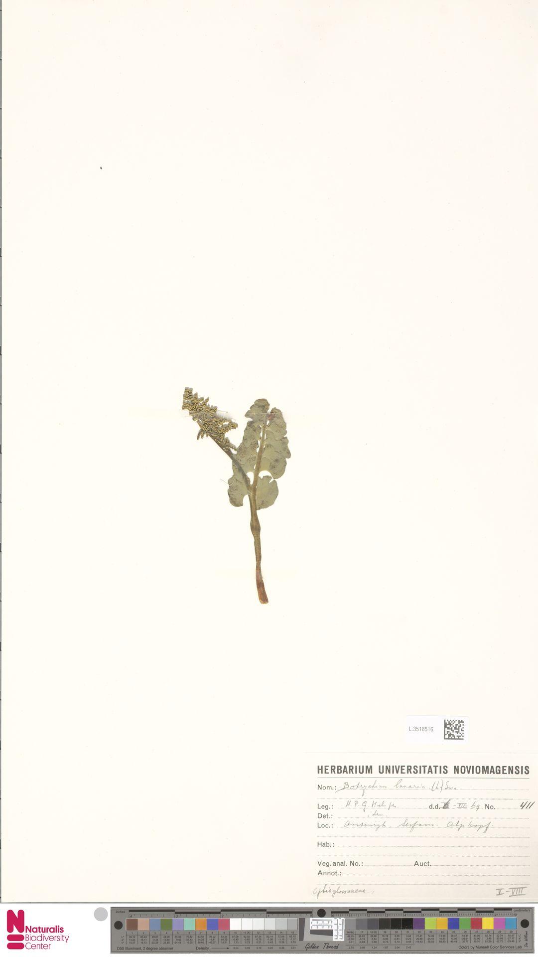 L.3518516 | Botrychium lunaria (L.) Sw.