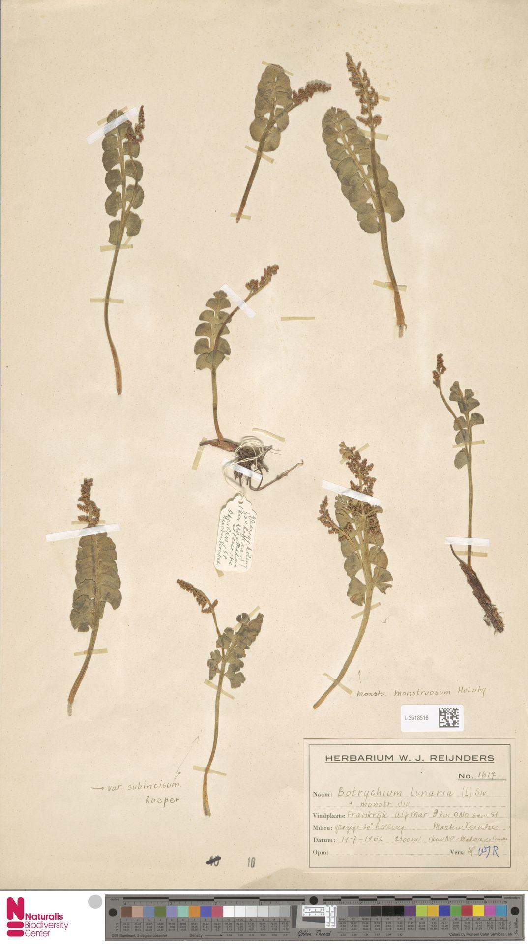 L.3518518 | Botrychium lunaria (L.) Sw.