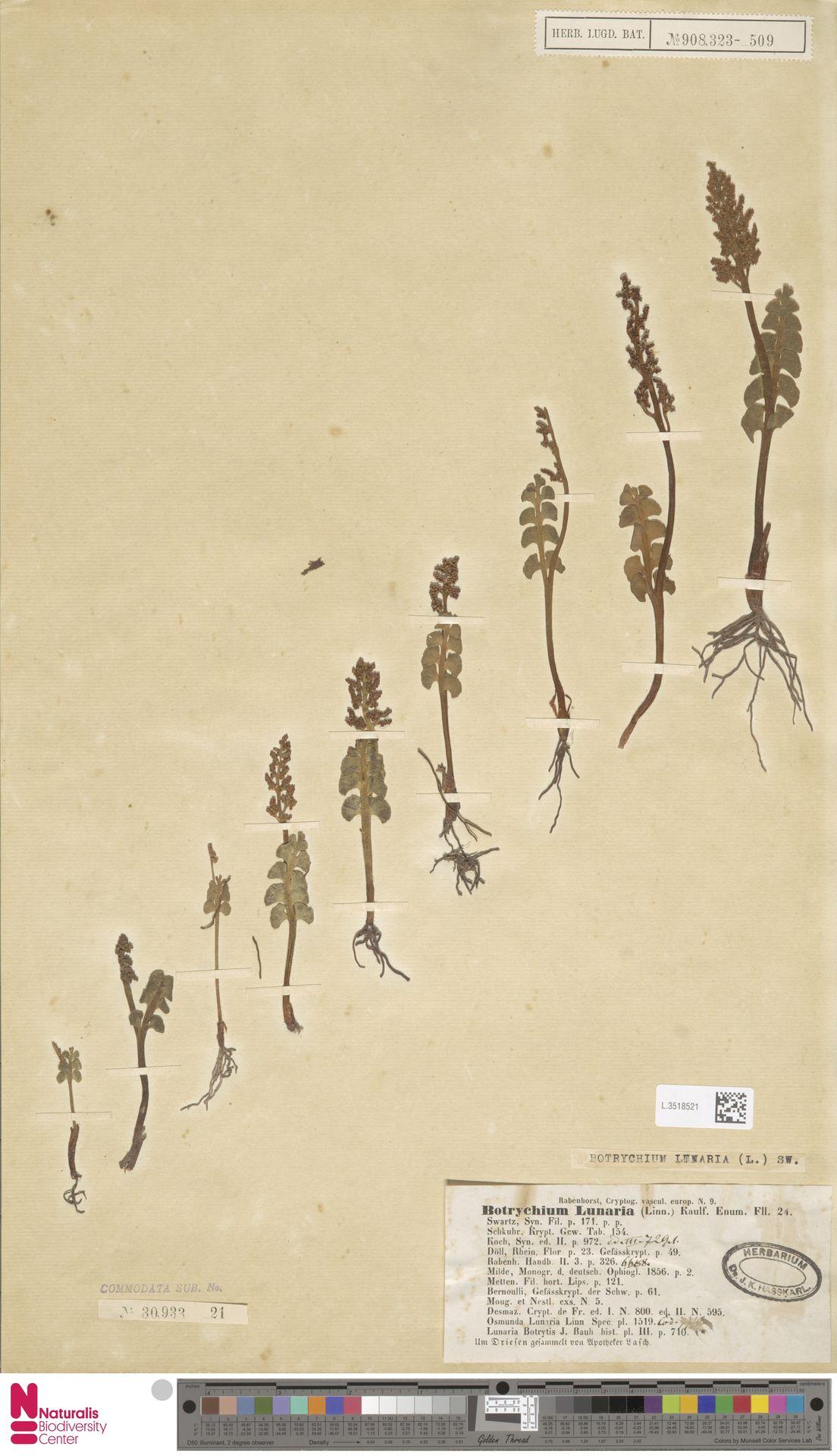 L.3518521 | Botrychium lunaria (L.) Sw.