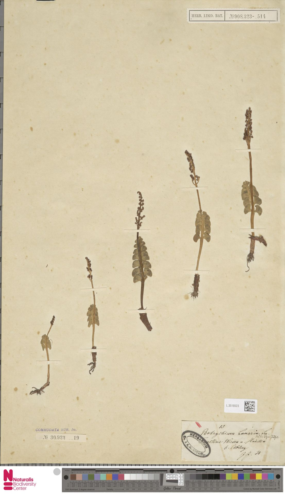 L.3518523 | Botrychium lunaria (L.) Sw.