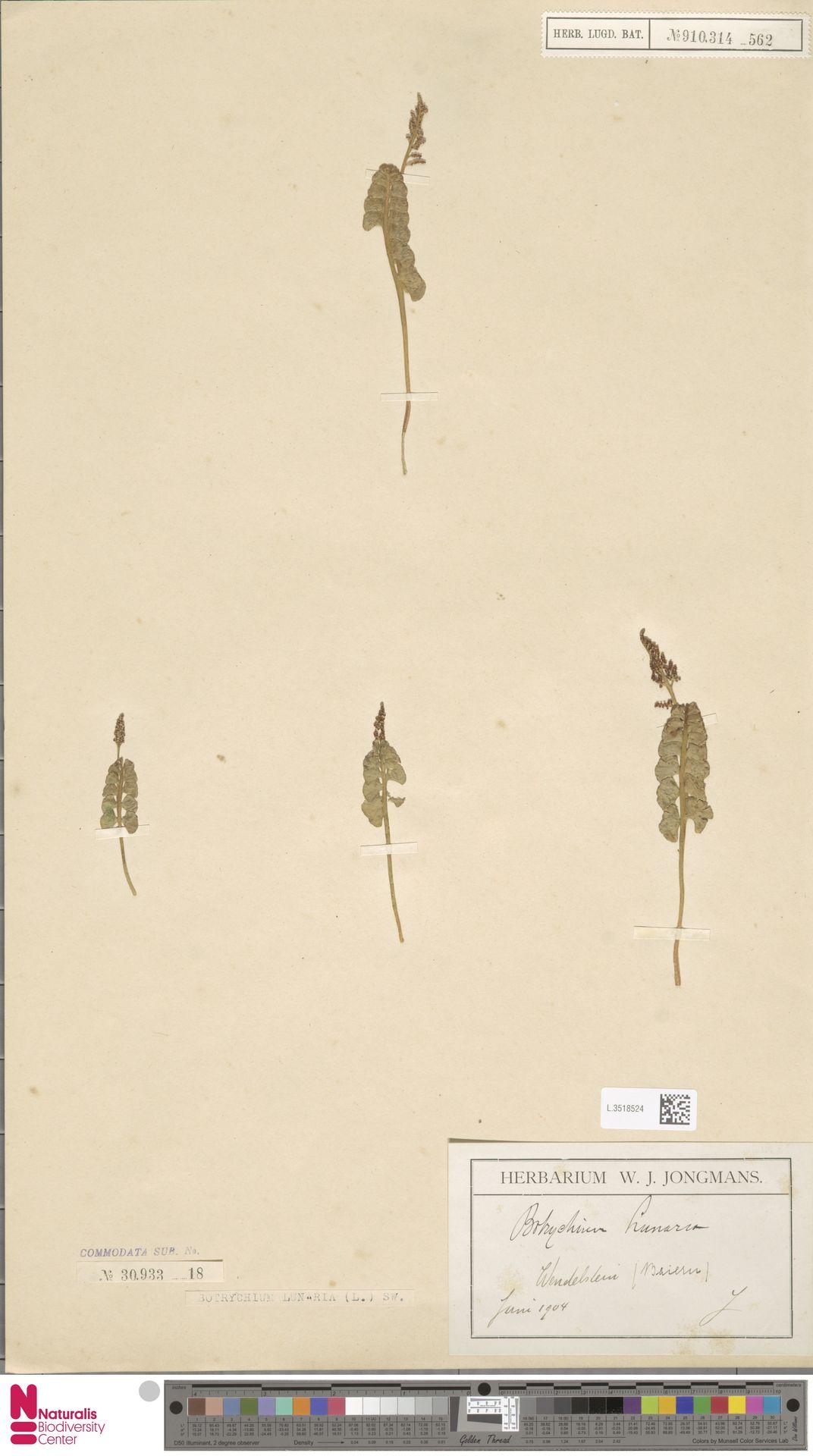 L.3518524 | Botrychium lunaria (L.) Sw.