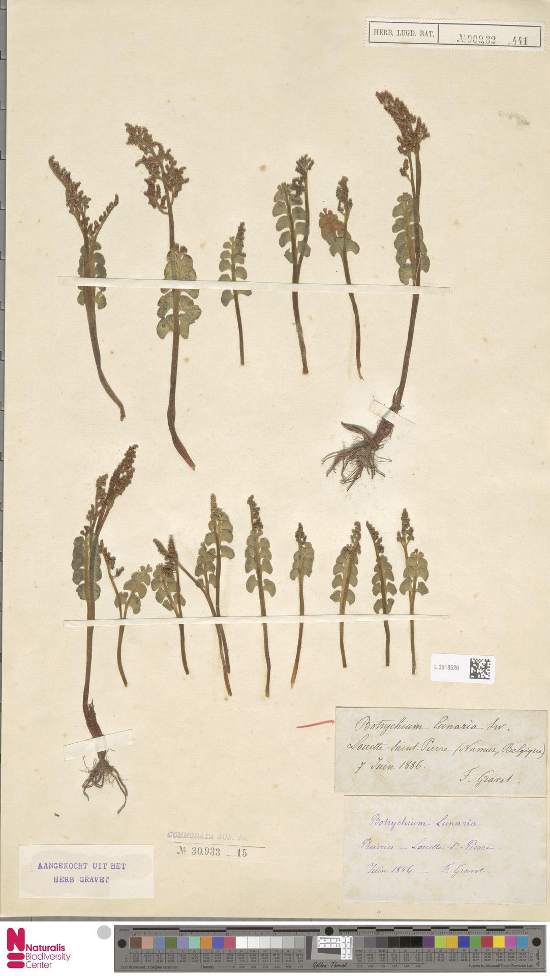 L.3518526 | Botrychium lunaria (L.) Sw.
