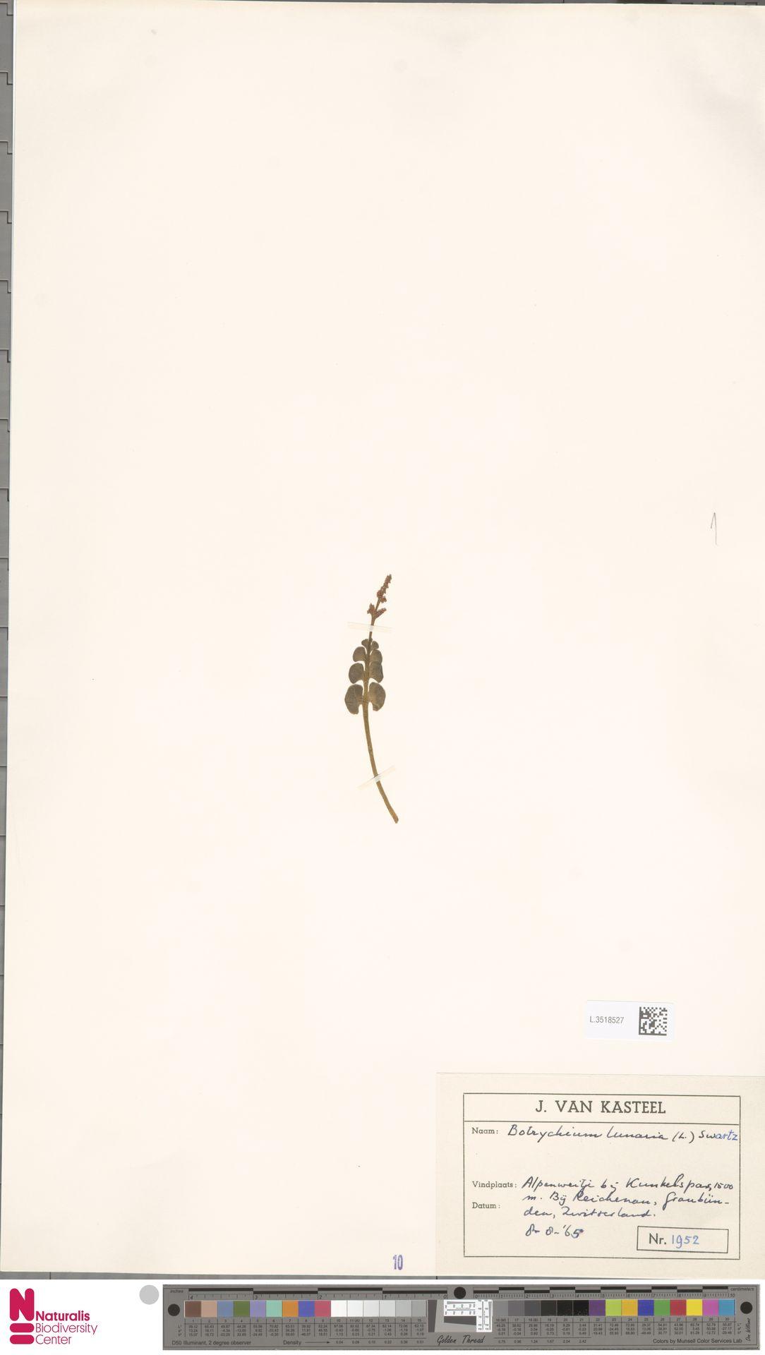 L.3518527   Botrychium lunaria (L.) Sw.