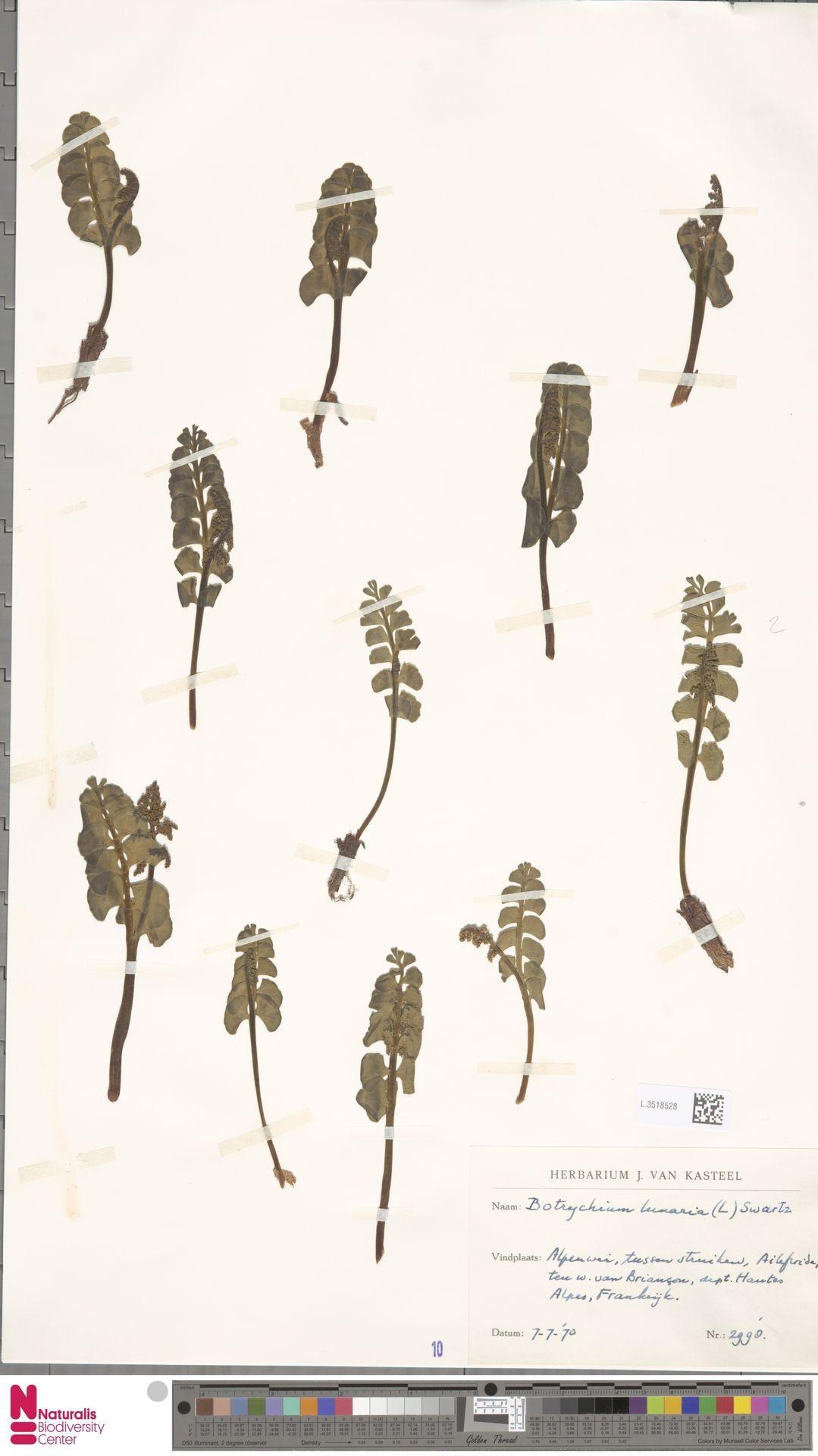 L.3518528 | Botrychium lunaria (L.) Sw.