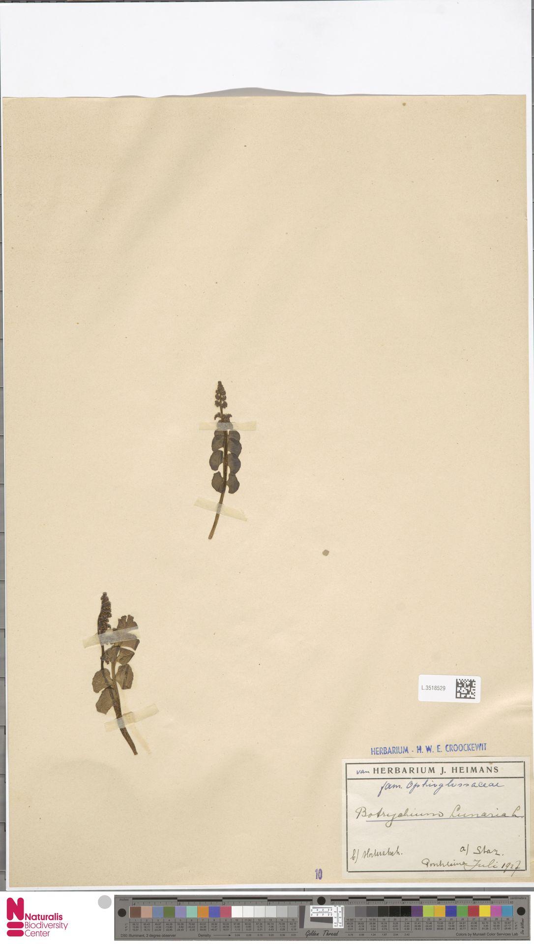 L.3518529 | Botrychium lunaria (L.) Sw.