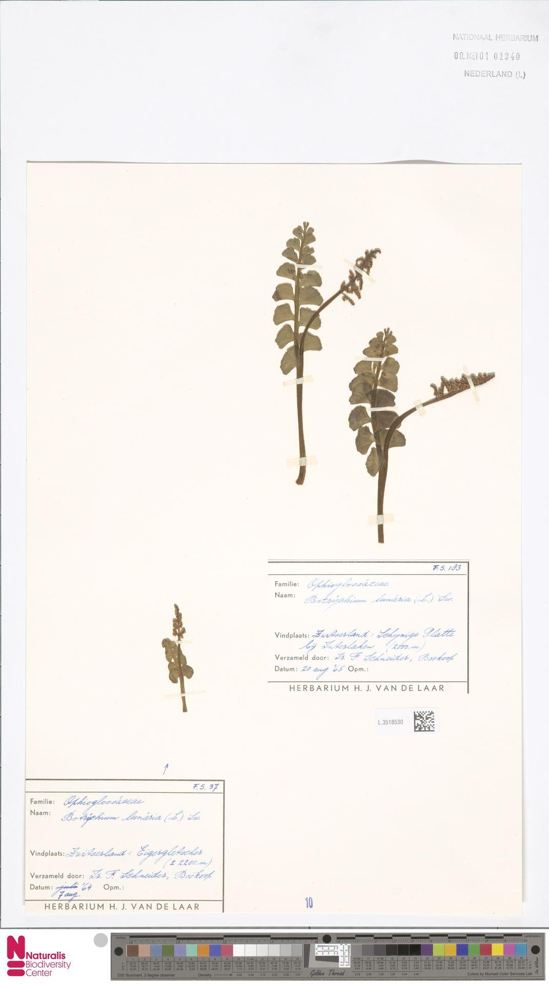 L.3518530 | Botrychium lunaria (L.) Sw.