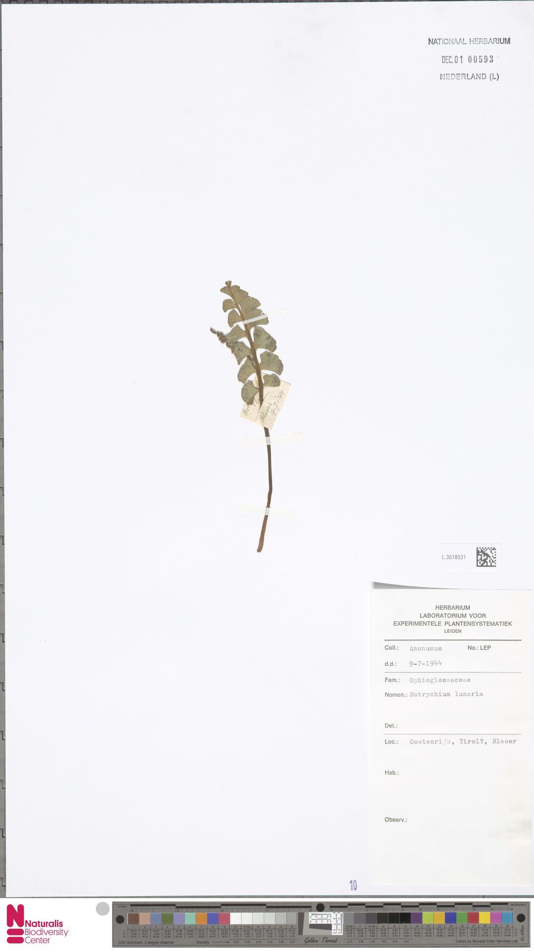 L.3518531 | Botrychium lunaria (L.) Sw.
