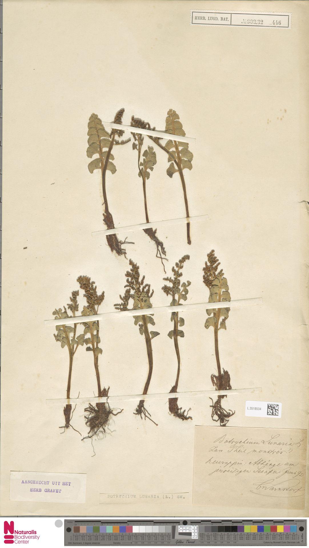 L.3518534 | Botrychium lunaria (L.) Sw.