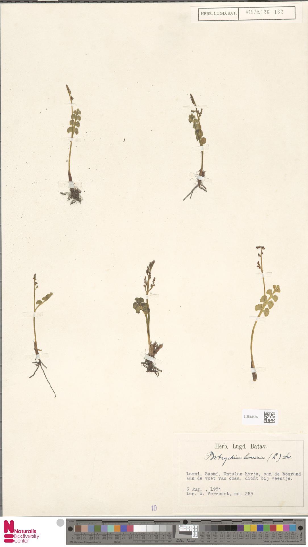L.3518535 | Botrychium lunaria (L.) Sw.