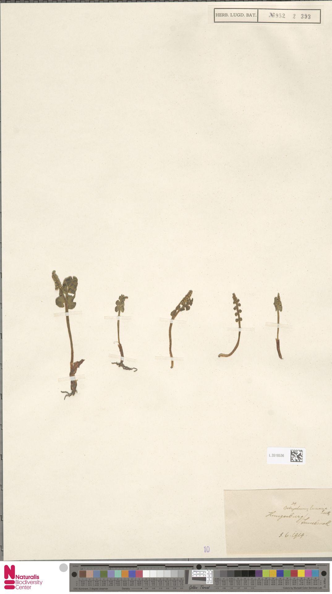 L.3518536 | Botrychium lunaria (L.) Sw.