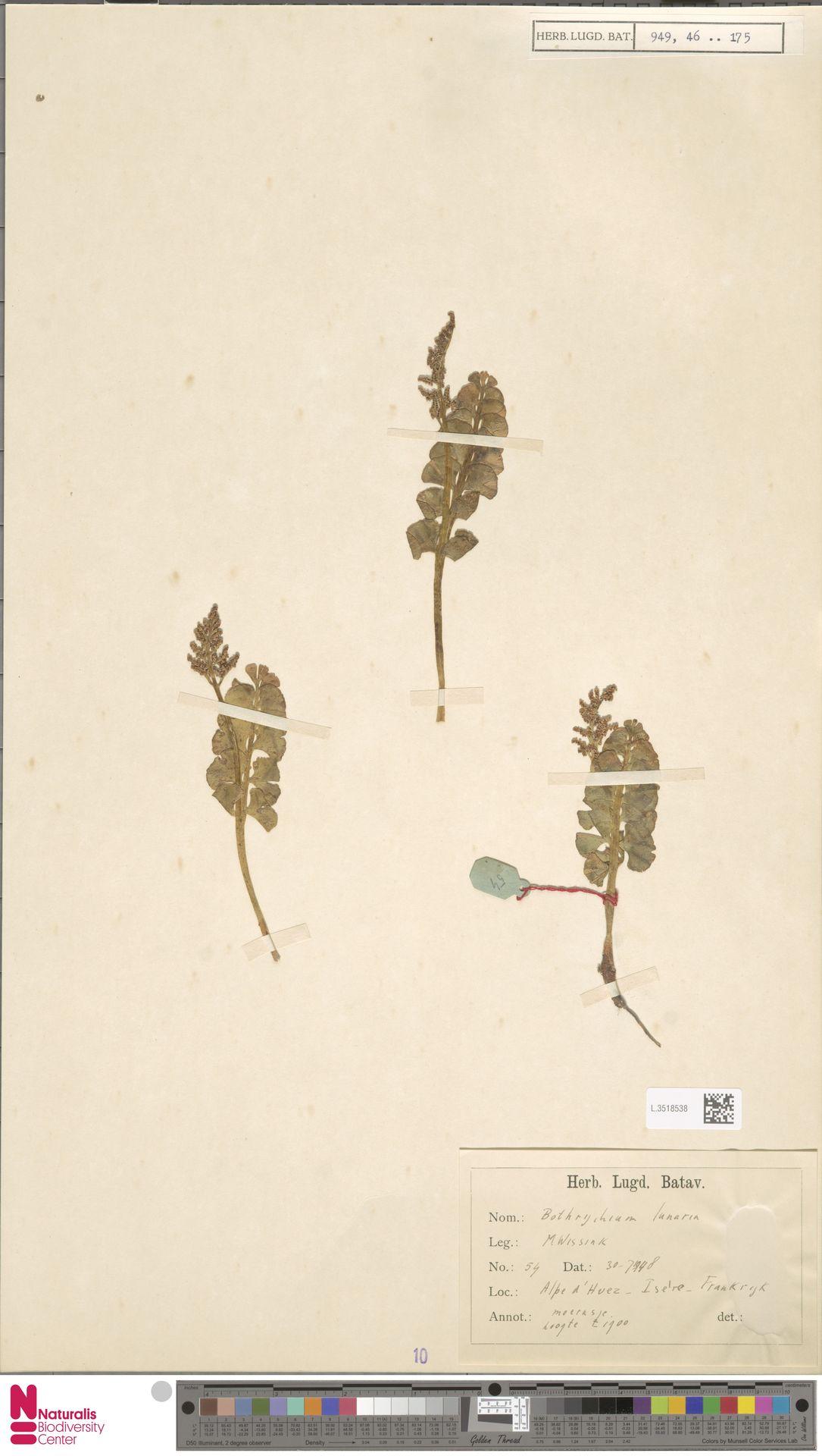L.3518538 | Botrychium lunaria (L.) Sw.