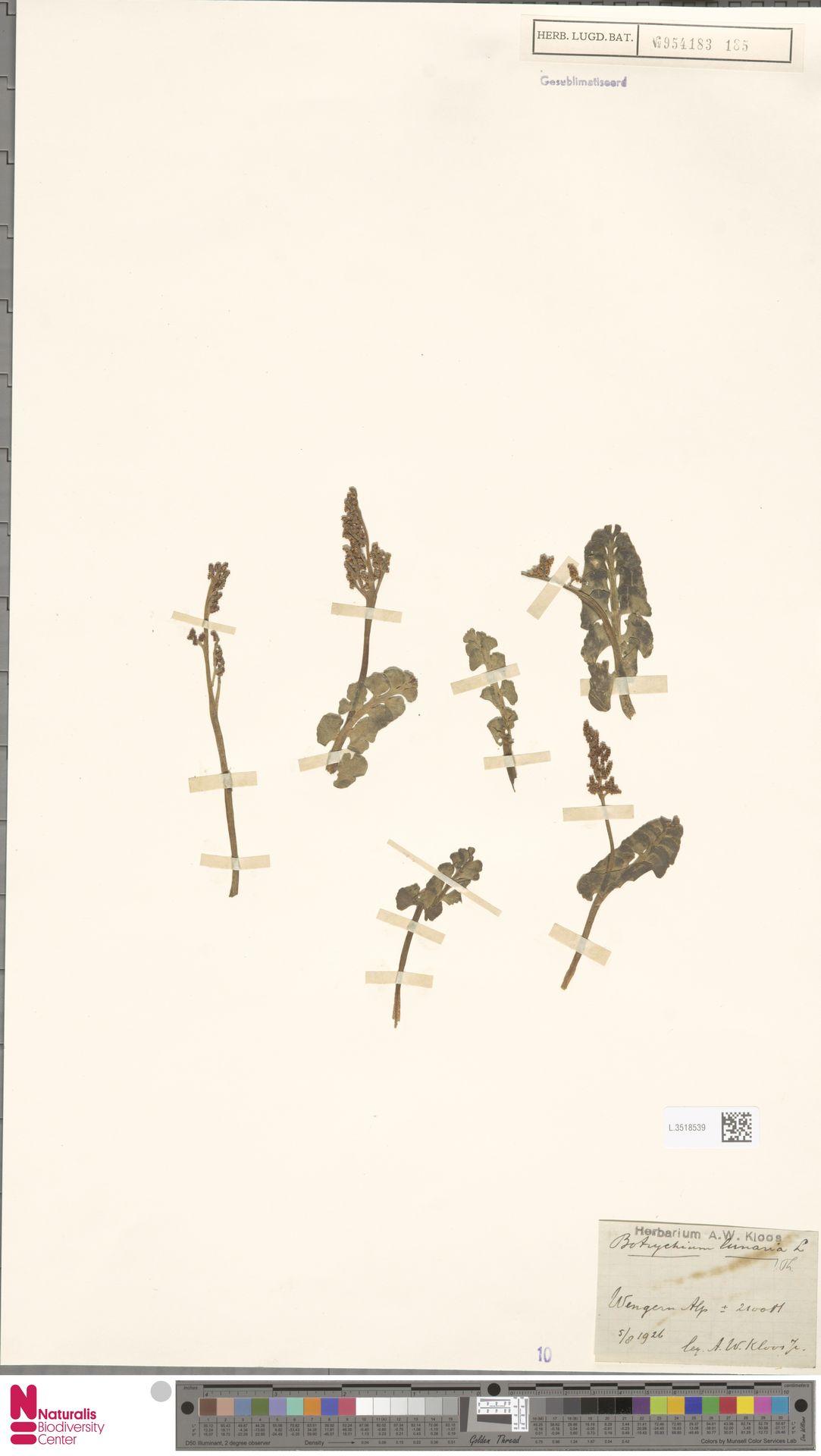L.3518539 | Botrychium lunaria (L.) Sw.