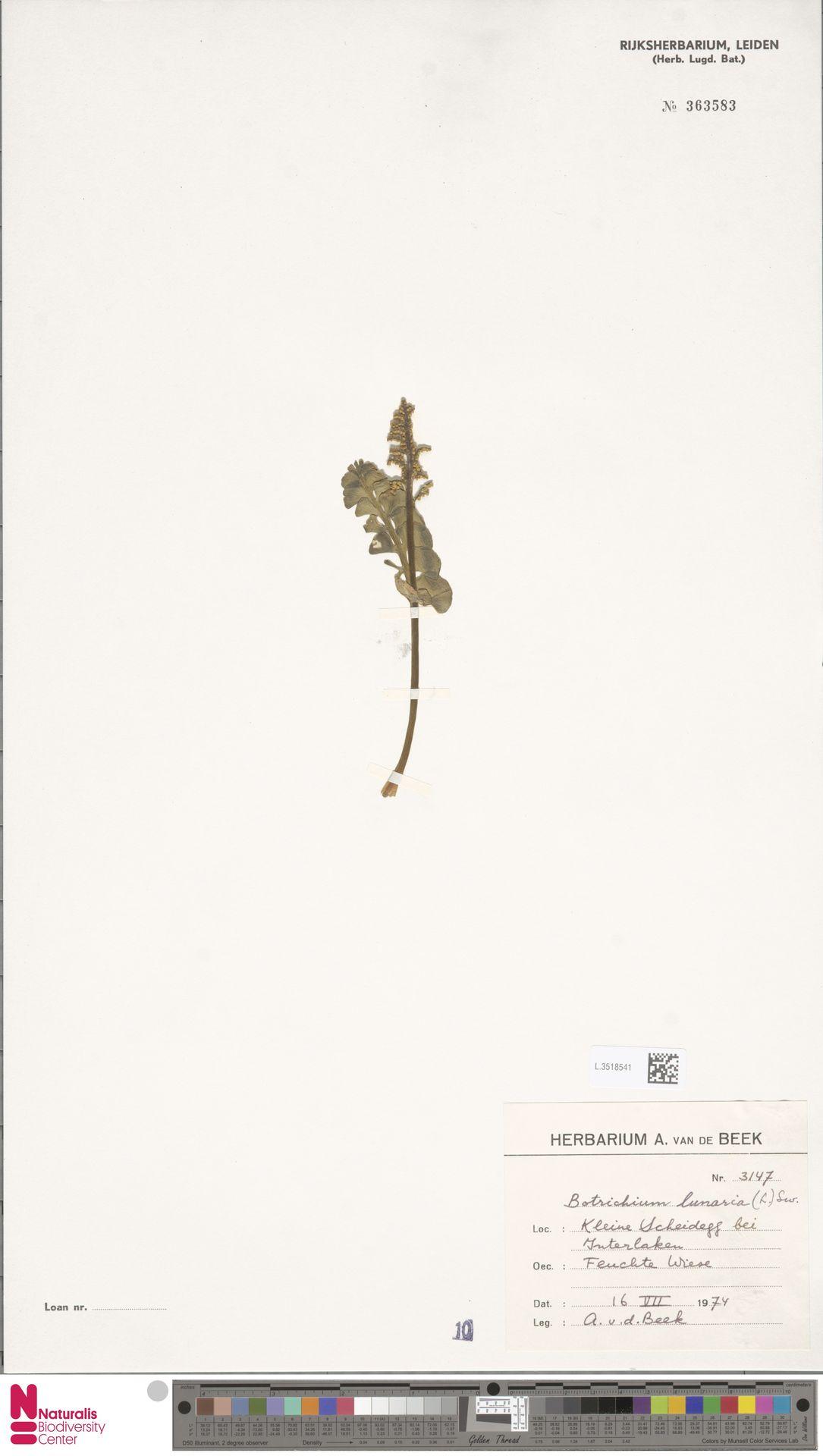 L.3518541 | Botrychium lunaria (L.) Sw.