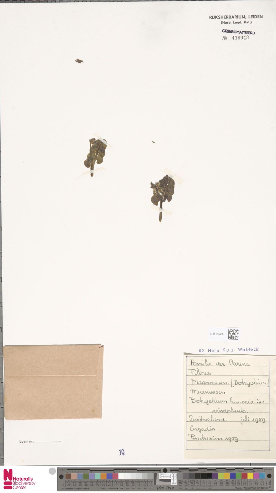 L.3518543 | Botrychium lunaria (L.) Sw.